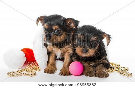 Two Little Yorkshire Terrier Puppy And Santa Hat