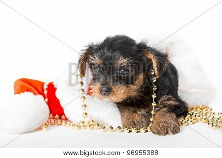 Little Yorkshire Terrier Puppy And Santa Hat