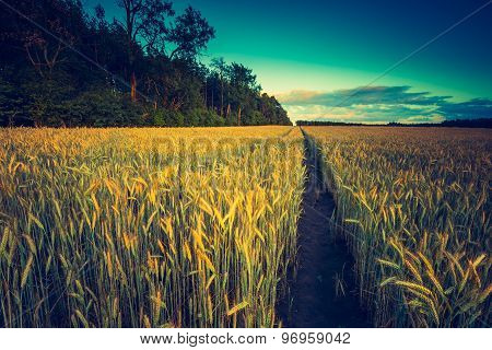 Vintage Photo Of Sunset Over Corn Field At Summer