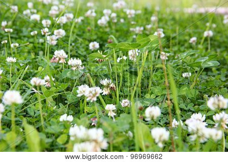 lawn of clover