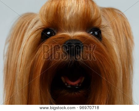 Closeup Portrait Of Happy Yorkshire Terrier Dog On White