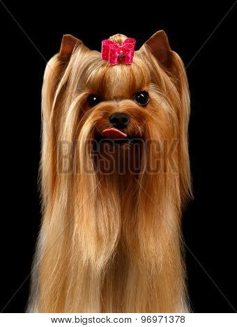 Closeup Portrait Of Yorkshire Terrier Dog Showing Tongue On Black