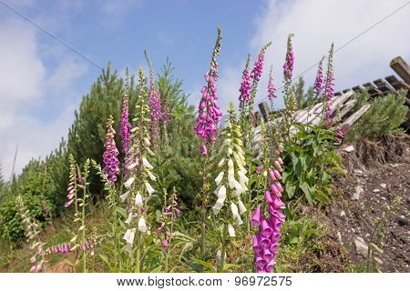 Foxglove, Digitalis against a blue sky