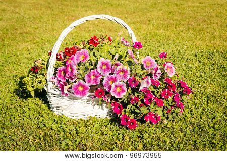 Petunias in a basket on grass