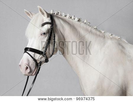 Riding Pony Schimmel White Background