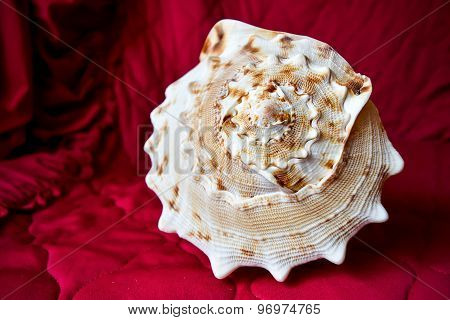 Big seashell on a Burgundy background.