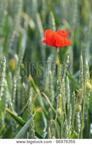 Corn Poppy In Wheat