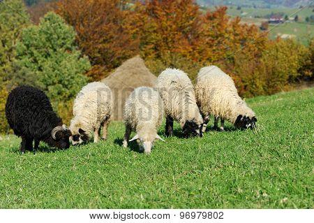 Flock Sheep On A Autumn Field