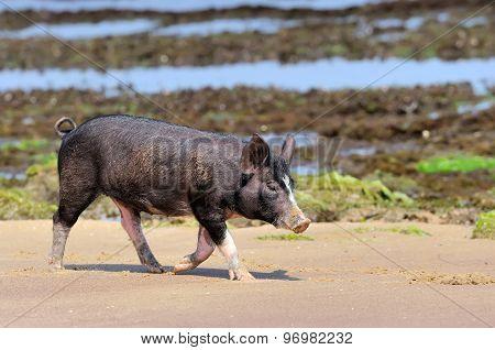 Little Piglet At Ocean Beach