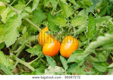 Ripened Tomatoes On A Bed
