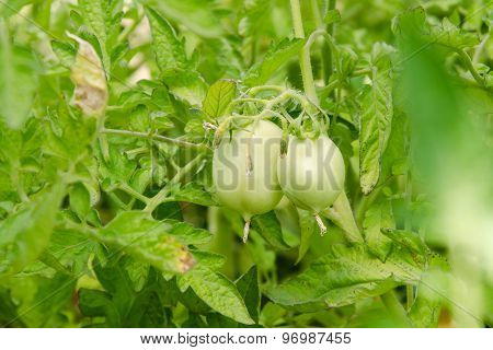 Shrubs Are Not Ripe Tomatoes With Green Fruit