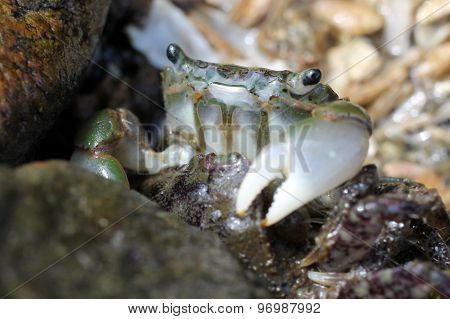Green Shore Crab - Hemigrapsus oregonensis