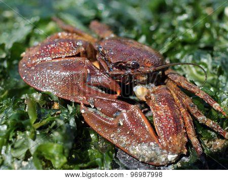 Flattop Crab - Petrolisthes eriomerus