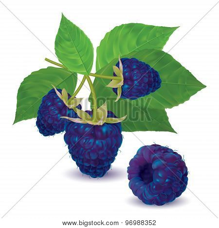 Ripe fresh blackberries on a branch