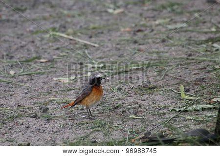 Common Redstart On The Ground