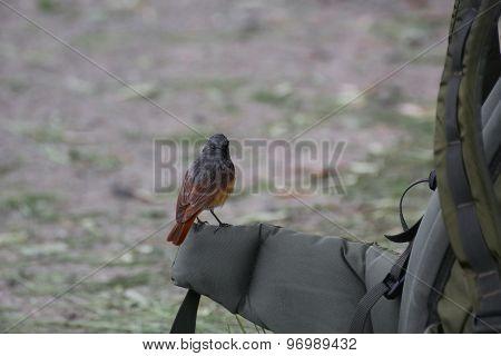 Common Redstart On A Backback