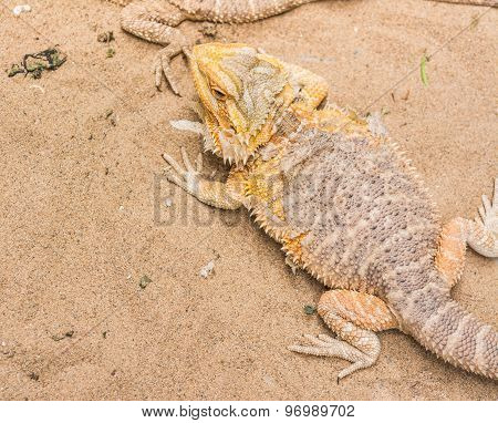 Bearded Dragon On Sand