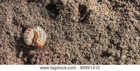 Rhinoceros Larva