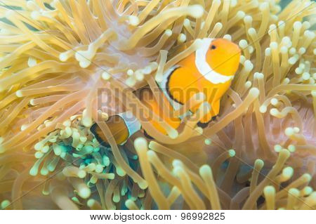 Clown Fish Nemo At Anemone Reef Tree