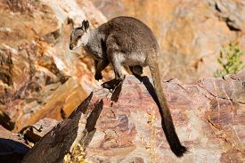stock photo of wallabies  - A rare sighting of a rock wallaby amongst rocks in a cliff face at Ormiston Gorge in Northern Territory - JPG