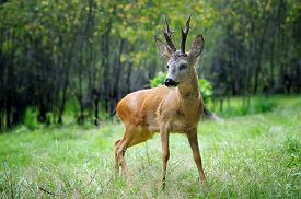 stock photo of deer  - Young roe deer standing in the summer forest - JPG