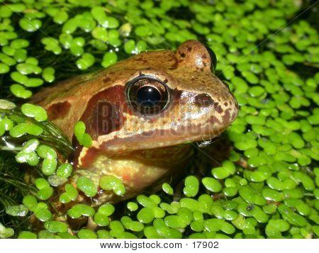 Common Frog 06