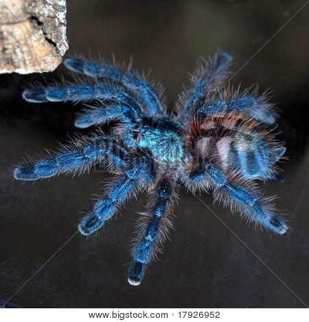 Avicularia Versicolor Tarantula