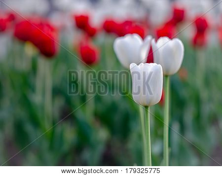 white and red tulips with blurred background