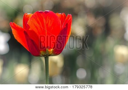 red poppy flower in sunshine on blurred background