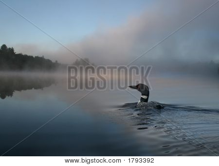 Loon In A Foggy Mornning