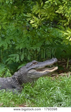 Aligators Jaws