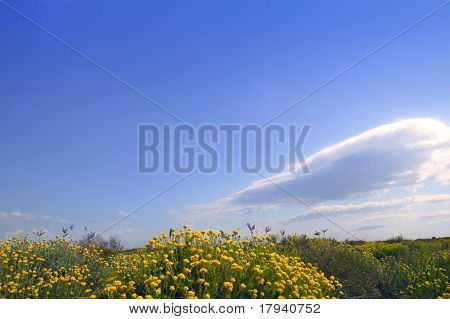 Asteraceae, Helichrysum stoechas yellow flowers under blue sky, nature
