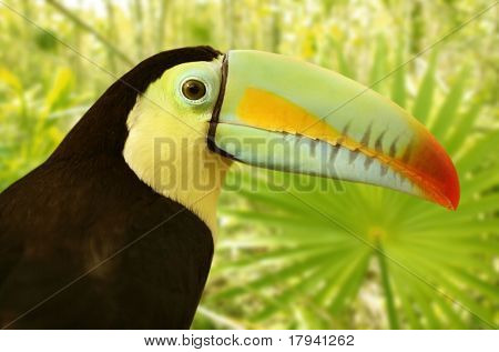 toucan kee billed Tamphastos sulfuratus on the jungle