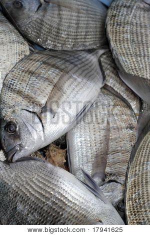 Diplodus Sargus white seabream bream blacktail mediterranean fish