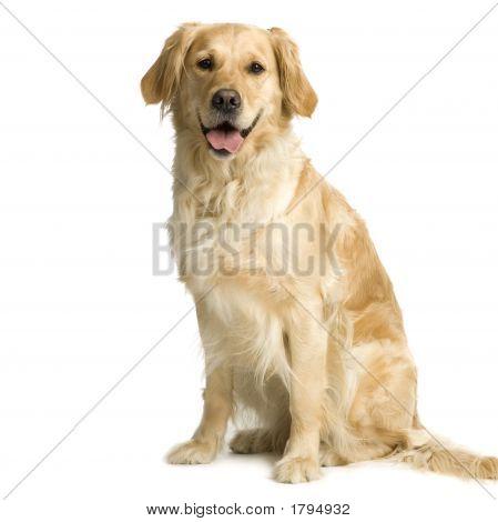 Labrador Retriever crema (3 años)