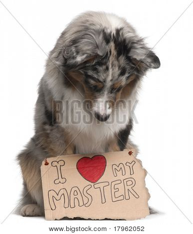 Australian Shepherd dog, 10 months old, sitting in front of white background looking at sign