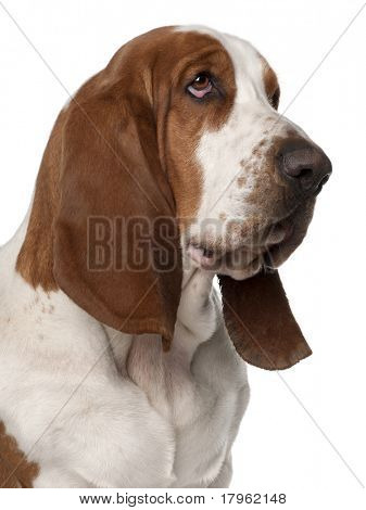 Close-up of Basset Hound, 2 years old, in front of white background