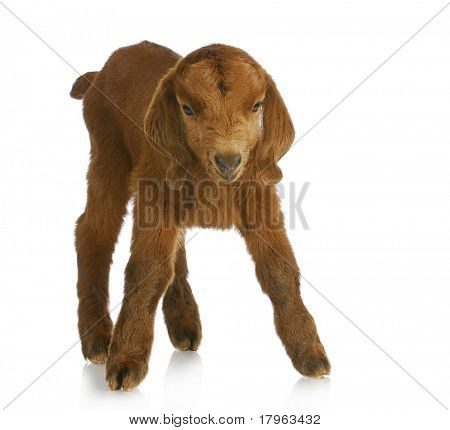 baby goat - four day old South African Boer kid standing on white background