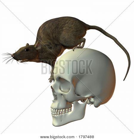 Rat On Skull