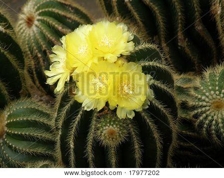 Notocactus schumanianus