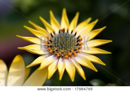 Marguerite in closeup