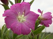 Great Willowherb Flower poster