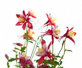 picture of columbine  - Pink flowers of aquilegia origami shallow depth of field - JPG