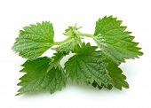 image of nettle  - Nettle isolated on white background close up - JPG