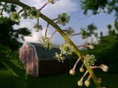 image of pokeweed  - Pokeweed blossoms in the dying sun pictured in front of a barn style shed - JPG