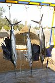 stock photo of sailfish  - Sailfish catch hanging from marlin fishing tourney trophy - JPG