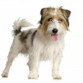picture of jack russell terrier  - Jack russel long haired in front of a white background - JPG