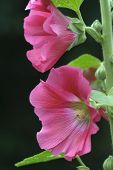 Macro Pink Hollyhock Flower