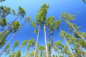 image of saw-palmetto  - The beautiful pine flatwoods of central Florida on a sunny day.