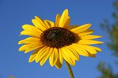 Sunflower And Blue Sky 4 poster